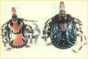 Amblyomma variegatum male tick (left) and female tick (right)(CIRAD)