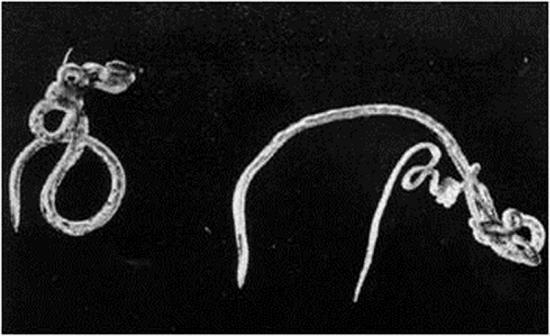 Gastrointestinal worms of small ruminants